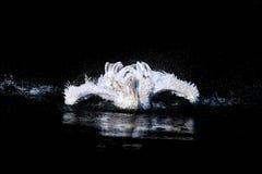 Pélican en mer Photographie stock libre de droits