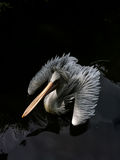 Pélican flottant sur le lac Photographie stock libre de droits
