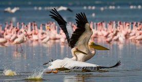 Pélican volant bas au-dessus du lac Lac Nakuru kenya l'afrique Photographie stock libre de droits