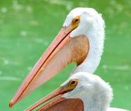 Pélicans blancs américains au zoo Photographie stock