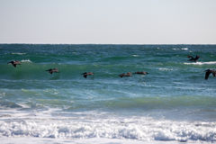 Pélicans chassant des poissons au schéma huit île Photos stock