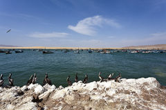 Pélicans - stationnement national de Reserva National de Paracas dans AIC Pérou, Amérique du Sud Photo stock