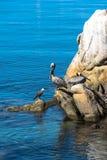 Pélicans sur les roches, Monterey, la Californie Photographie stock libre de droits