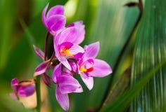 Plicata Blume, αλεσμένη ορχιδέα Spathoglottis Στοκ εικόνα με δικαίωμα ελεύθερης χρήσης