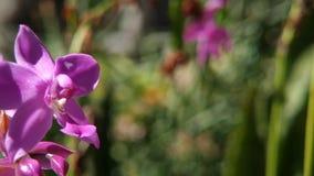 Plicata u orquídea de tierra filipina, flores púrpuras hermosas de Spathoglottis de la orquídea en fondo borroso natural metrajes
