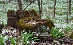 Plicatus de Snowdrops Galanthus cerca de tocones putrefactos fotografía de archivo