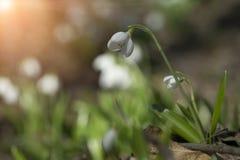 Plicatus de Snowdrops Galanthus en bosque de la primavera fotos de archivo