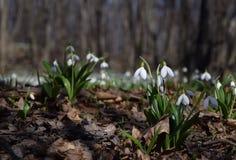 Plicatus de Snowdrops Galanthus en bosque de la primavera Imagenes de archivo