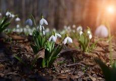 Plicatus de Snowdrops Galanthus en bosque de la primavera imagen de archivo libre de regalías