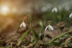 Plicatus de Snowdrops Galanthus en bosque de la primavera imagen de archivo