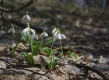 Plicatus de Snowdrops Galanthus en bosque de la primavera fotografía de archivo
