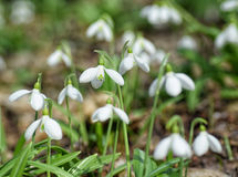 Plicatus de Snowdrops Galanthus en bosque de la primavera fotos de archivo libres de regalías