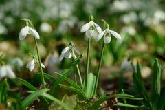 Plicatus de Snowdrops Galanthus en bosque de la primavera foto de archivo libre de regalías