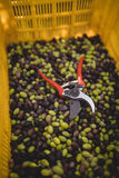 Pliers with olives in crate at farm Royalty Free Stock Image