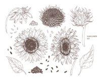 Plik eleganccy botaniczni rysunki słonecznikowe części Set kwiaty, pączki, ziarna i liście, wręczamy patroszonego z konturem ilustracji