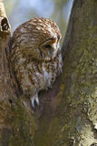 plira för owl Arkivfoton