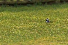 Pliszka ptak 3 zdjęcia stock