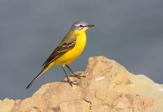 pliszki kolor żółty fotografia stock