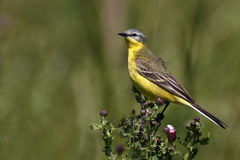 pliszki kolor żółty Zdjęcia Stock
