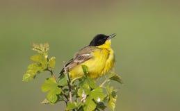 pliszki męski kolor żółty Zdjęcie Royalty Free