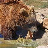 Plitvice brown bear Royalty Free Stock Images