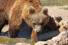 Plitvice brown bear Royalty Free Stock Photo