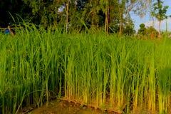 Plântulas do arroz, o começo de uma planta de arroz Imagens de Stock Royalty Free