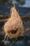 Gniazdowy weaverbird Zdjęcia Royalty Free