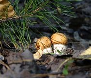Plocka svamp det är tid i den ryska skogen fotografering för bildbyråer