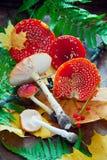 Plocka svamp flugsvamp Arkivbild