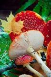 Plocka svamp flugsvamp Arkivbilder