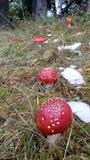 plocka svamp giftigt arkivfoton