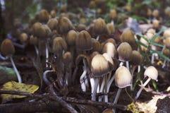 Plocka svamp giftsvampar i natur mycket royaltyfri foto