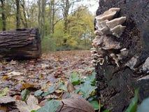 Plocka svamp holland Royaltyfri Foto