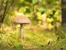 Plocka svamp i skogen Arkivbilder