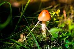 Plocka svamp i skogen Arkivbild