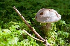 Plocka svamp i skogen Royaltyfri Bild