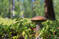 Plocka svamp i skogen Royaltyfri Fotografi