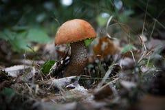 Plocka svamp i skogen Arkivfoto