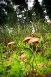Plocka svamp i skogen Fotografering för Bildbyråer