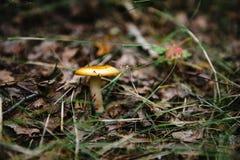 Plocka svamp i skogen Royaltyfri Foto