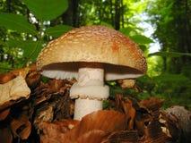 Plocka svamp i skogen Närbild Arkivfoton