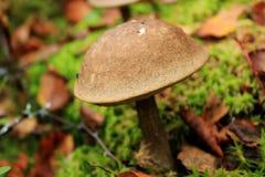 Plocka svamp i skogen, sopp, en champinjon växer Arkivfoton