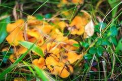 Plocka svamp kantareller bland gräset Royaltyfri Foto