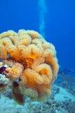 Plocka svamp läderkorall i det tropiska havet som är undervattens- Arkivbilder