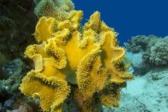 Plocka svamp läderkorall i det tropiska havet som är undervattens- Arkivbild