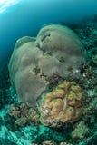 Plocka svamp läderkorall, korallrev i Ambon, Maluku Indonesien det undervattens- fotoet Arkivbilder