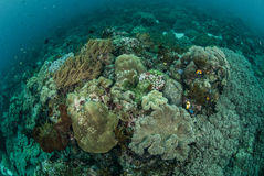 Plocka svamp läderkorall, korallreven, anemon i Ambon, Maluku Indonesien det undervattens- fotoet Royaltyfri Fotografi
