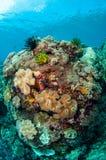 Plocka svamp läderkoraller, fjäderstjärnor i Banda, Indonesien det undervattens- fotoet Royaltyfria Foton