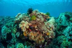 Plocka svamp läderkoraller, fjäderstjärnor i Banda, Indonesien det undervattens- fotoet Royaltyfria Bilder